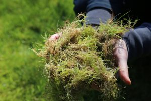 Thatch and moss in hands after scarifying with Countax scarifier cassette